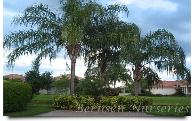 queen palm trees naples
