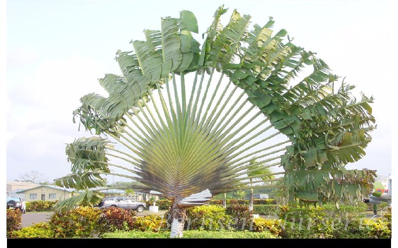Fan Like Palm Images