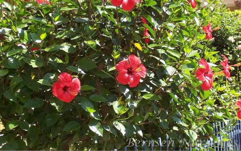 Hibiscus Naples