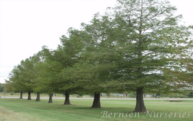 Bald Cypress Tree Pictures 8