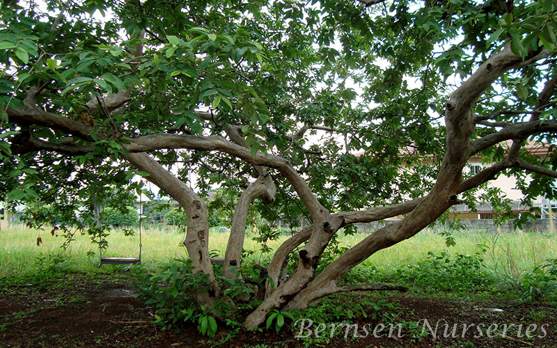 GUAVAS TREE NAPLES