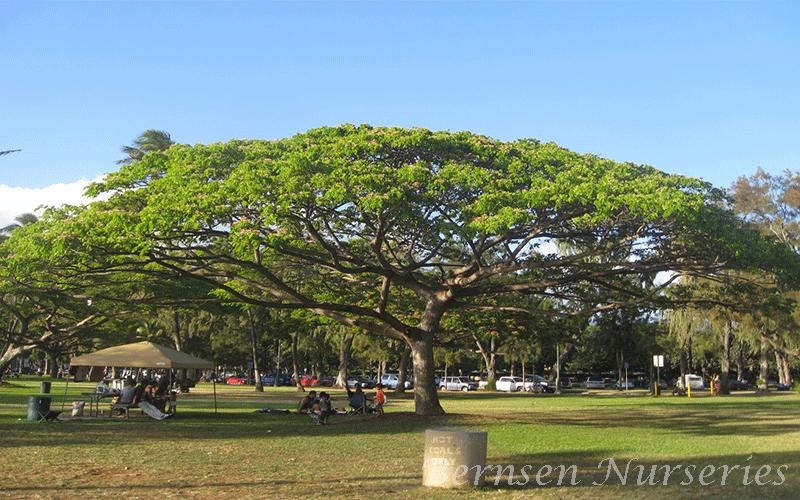 Hawaiian Elf Umbrella Tree Naples