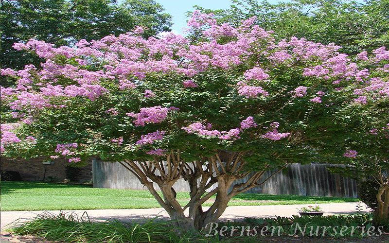 Queen crape myrtle flower sage system heads up poker