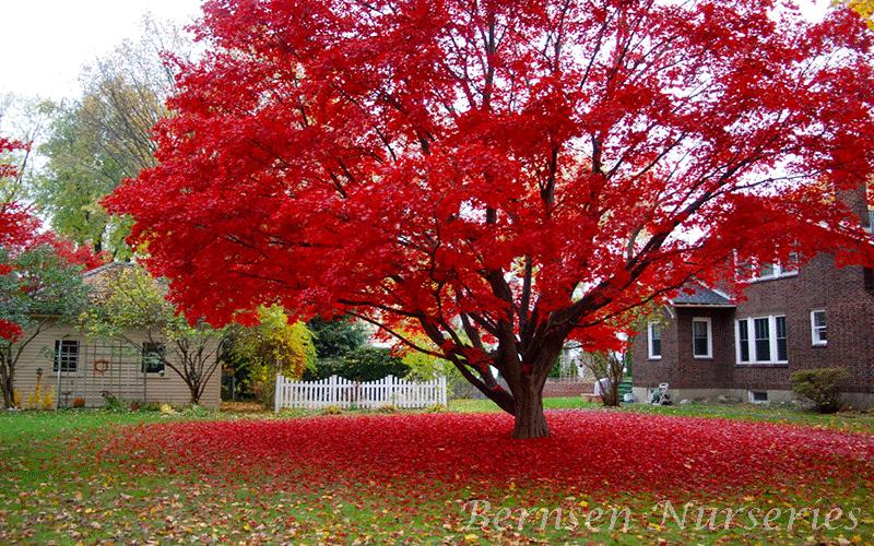 Red Maple Tree Red Maple Tree Naples