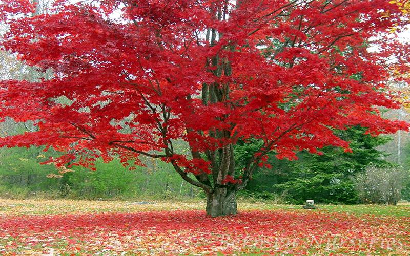 RED MAPLE TREE NAPLES
