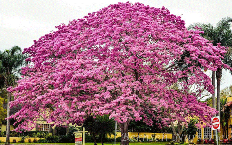 Image result for tabebuia trees