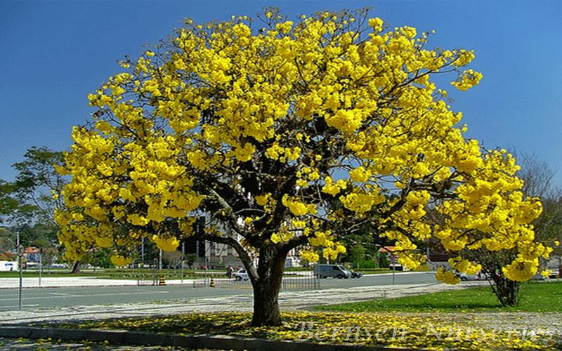 Tabebuia tree naples mightylinksfo